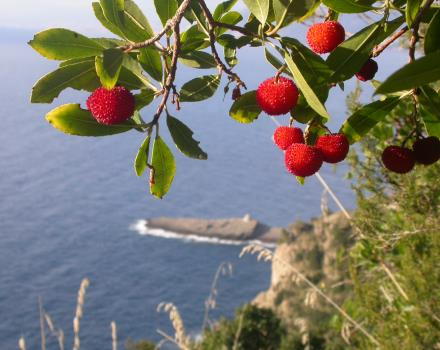 Strawberry trees protected marine Area of Portofino